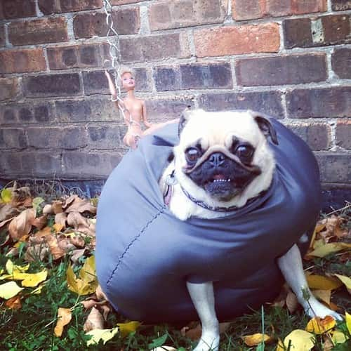 Pug Dressed as Wrecking Ball