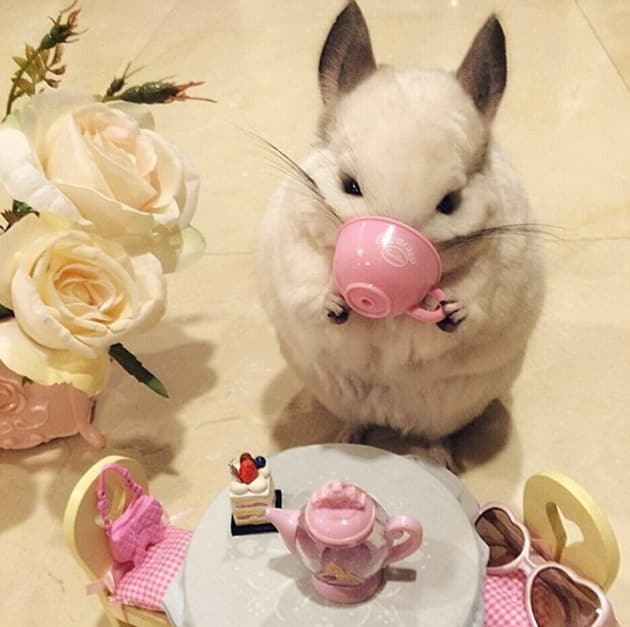 Chinchilla Drinks Tea Plays Trumpet Melts The Internet