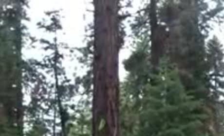 Dog Does Best Ninja Impression, Runs Directly Up Tree Trunk