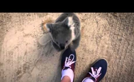 Frightened Koala Asks for Hug, Is the Cutest Animal EVER