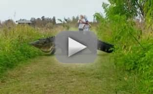 Enormous Alligator Wanders Around Florida, Goes Viral