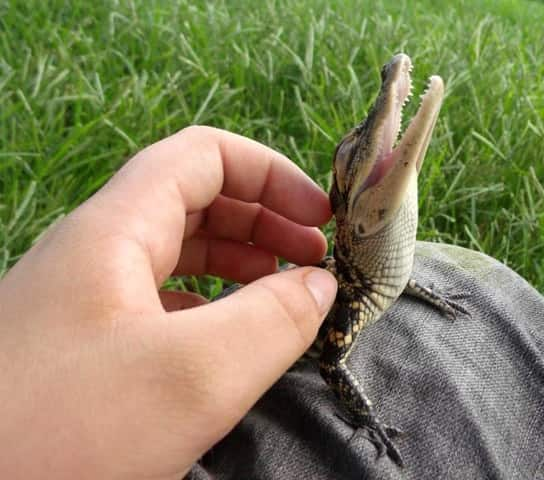 A baby, back-scratched alligator.