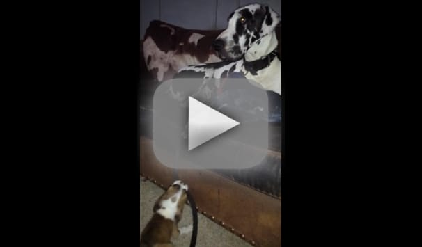 Bulldog Tries to Walk Great Dane