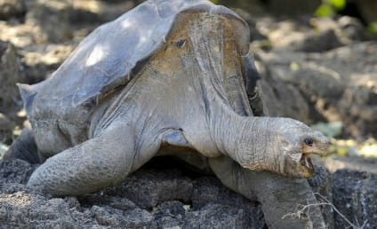 Lonesome George Dies; Galapagos Giant Tortoise Was Over 100