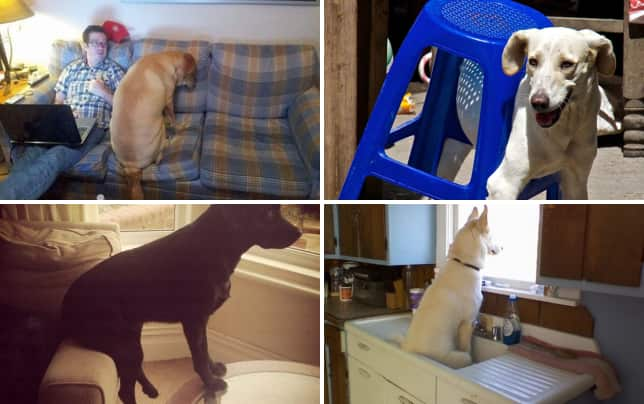 9 dogs who dont know how to properly use furniture couches are confusing