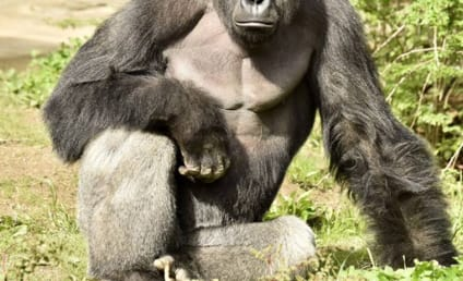 Cincinnati Zoo Deletes Twitter Account Due to Harambe Memes