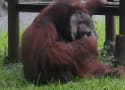 Orangutan Smokes Strewn Cigarette, Animal Activisits Flip Out