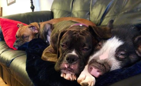 Pig Cuddles with Dog