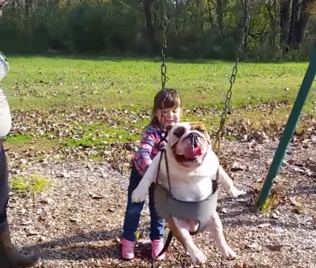Girl Pushes English Bulldog In A Swing The Hollywood Gossip