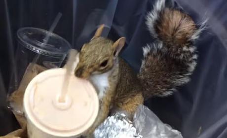 Milkshake Squirrel Attempts to Bump Pizza Rat from the Headlines