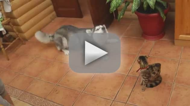 Husky Tries, Fails to Play with Cat