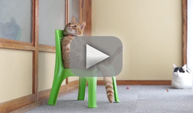 Chubby Cat Sits in Chair