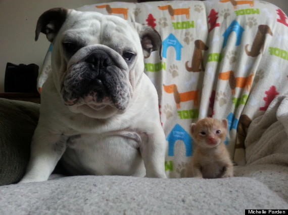 Bulldog and Kitten