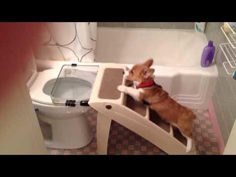 corgi uses the toilet the hollywood gossip