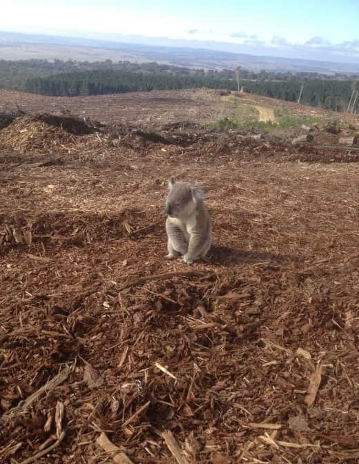 Koala Photo