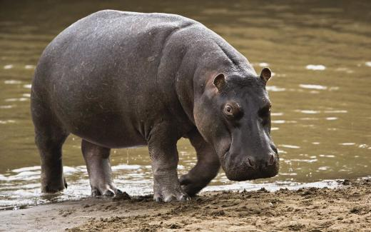 Hippo Pic