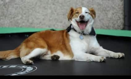 Smartest Dog Ever Uses Trampoline to Follow Owner to Work