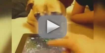 Dog Tries to Drink iPad Screen