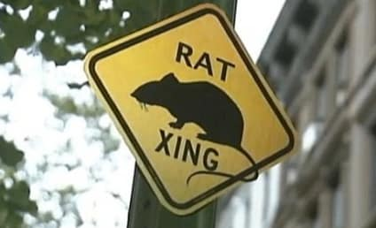 Rat Crossing: NYC Resident Posts Custom Signs to Highlight Problem