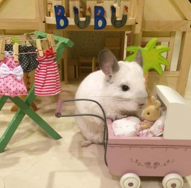 Chinchilla Plays Mother