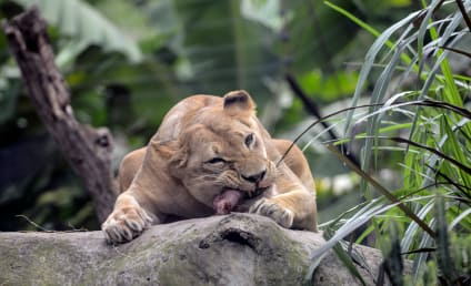 Three Poachers Eaten Alive by Lions While Trying to Hunt Rhino