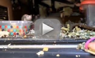 圣迭戈女子在凡有超过300只宠物鼠找到生活