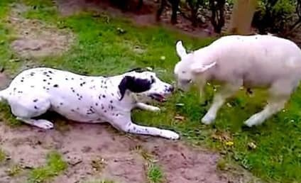 Dog and Lamb Wrestle Over Ball, Become Fast Friends