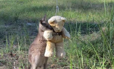 Orphaned Kangaroo Photo