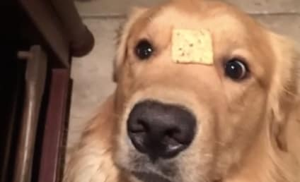 Adorable Golden Retriever Goes Viral, Gets Confused by Cracker