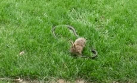 Mother Rabbit Attacks Snake That Killed Her Kids