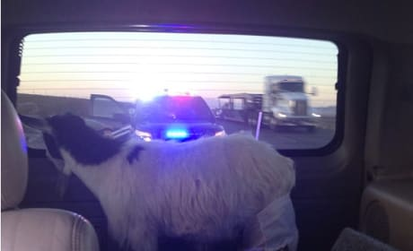 Jose Canseco, Goat Pulled Over By Cops