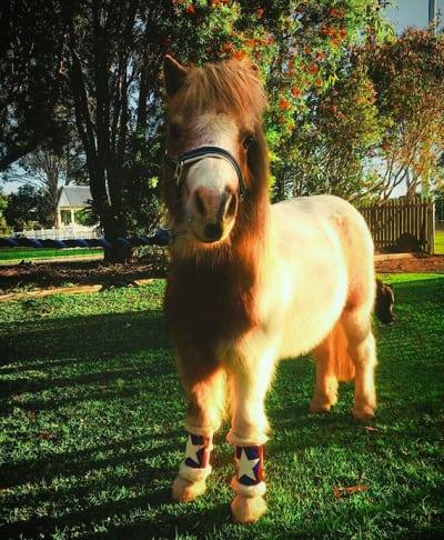 miniature pony 02
