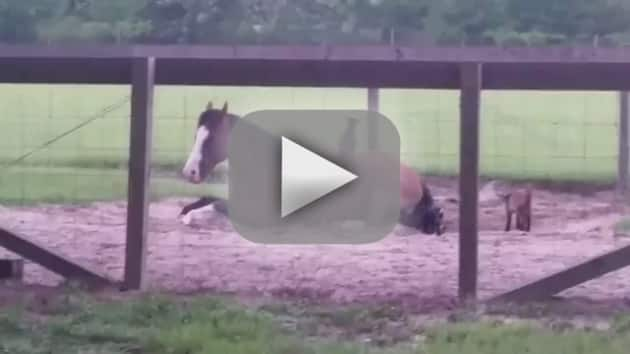 Goats Play on Horse
