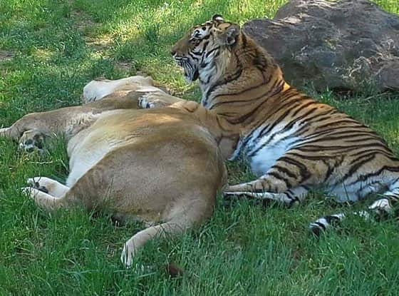 Napping Lion and Tiger