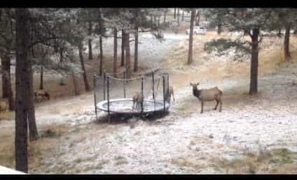Elk Jumps on Trampoline, Friends Grow Jealous