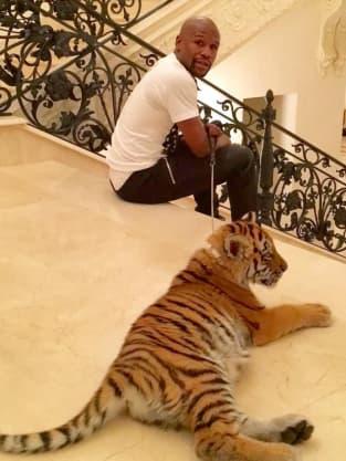 Floyd Mayweather Pet Tiger Photo