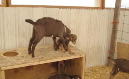Goat Tries to Help Fellow Goat Out of Hole, Makes Matters Much Worse