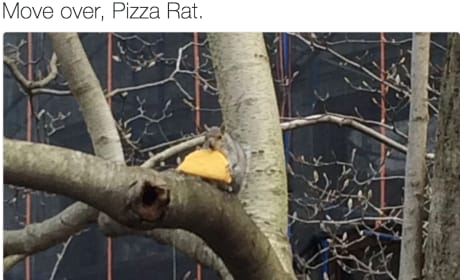 Taco Squirrel