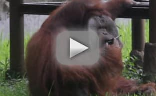 Orangutan Smokes Strewn Cigarette, Animal Rights Activisits Flip Out
