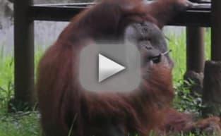 Orangutan Smokes Strewn Cigarette, Animal Rights Activisits Flip Out