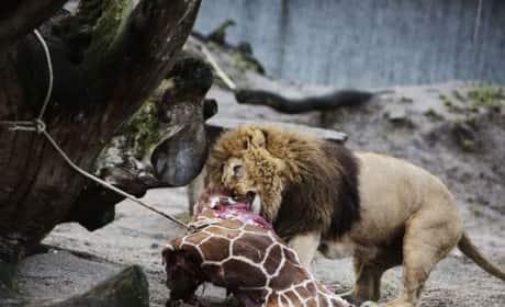 Giraffe Fed to Lions in Copenhagen