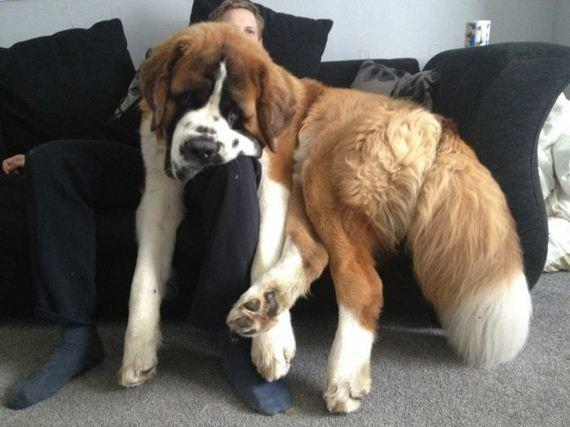 Sad St. Bernard Is Sad