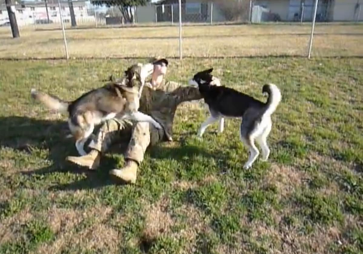 Huskies Greet Returning Soldier Totally Flip Out The Hollywood Gossip