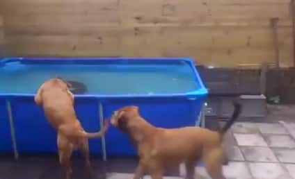 Bulldogs Team Up, Put Elaborate Chew Toy Rescue Plan Into Motion