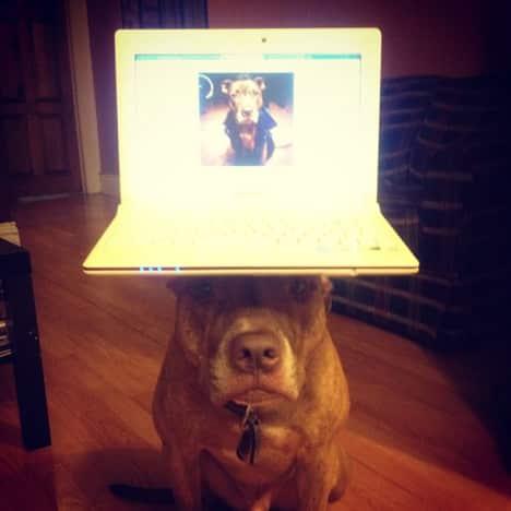 Dog Balances Laptop