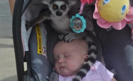 Lemur Hops in Baby Carrier at Zoo, Sleeping Child Doesn't Even Wake Up