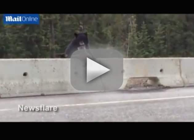 Bear Rescues Cub from Highway Traffic