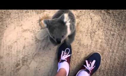 Frightened Koala Asks for Hug, Is Cutest Animal EVER
