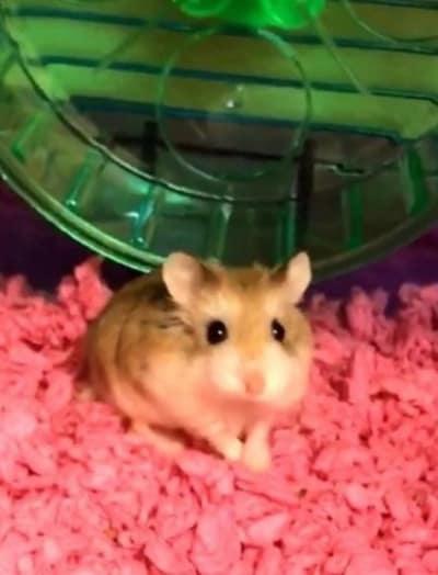 hamster near wheel