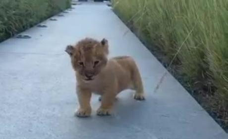 Cutest Lion Ever is Working on His Roar